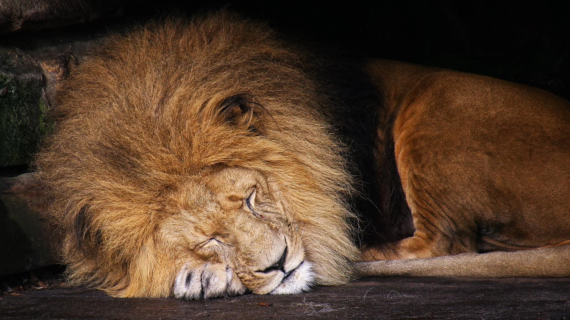 lion-1812316_1920